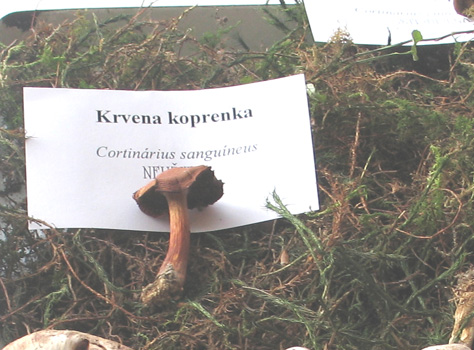 koprenka_krvena.jpg