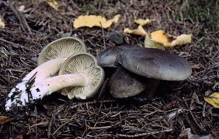 Tricholoma_saponaceum