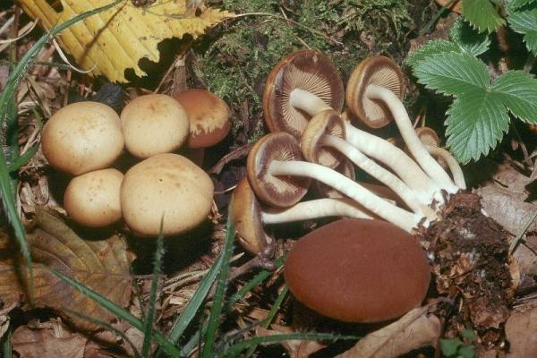 Psathyrella piluliformis