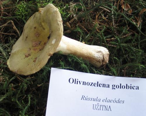 GOLOBICA OLIVNOZELENA