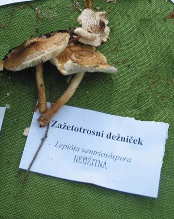 Zažetotrosni_dežnièek_00.jpg