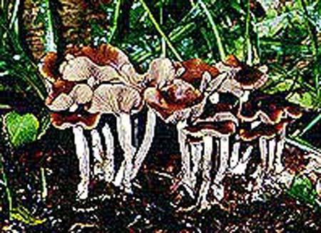 Psilocybe cyanescens _a3.jpg