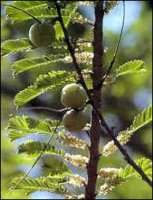 Naziv izdelka: Amalaki  Slovensko: indijska kosmulja Latinsko: Emblica officinalis (syn. Phyllanthus emblica ) English name: Indian Gooseberry Sanskrit / Indian name: Amalaki   Amla fruits are anabolic, anti-bacterial and resistance building.  The fruits also possess expectorantThe dried fruit is useful in diarrhea and dysentery. , cardiotonic, anti-pyretic, anti-viral and anti-emetic activities.