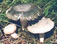 ZELENA GOLOBICA Russula_virescens