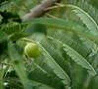 Naziv izdelka:      Amalaki latinsko:              Emblica officinalis slovensko:           indijska kosmulja Oprema:             V plastenki je 60 kapsul po 250 mg Kaj je in kako deluje:                          Indijska kosmulja je listavec, katerega sade v naravni obliki. Amalaki je naravno, varno in uèinkovito tradicionalno zelišèe. Je antioksidant, ki zaradi bogate vsebnosti vitamina C varuje naše celice pred škodljivimi prostimi radikali. buje najvišje vrednosti vitamina C Uporaba:    -   varuje telo pred boleznimi srca in ožilja (izboljšuje krvni obtok, znižuje povišan holesterol), -   varuje telo pred okužbami in poveèuje odpornost (krepi obrambno sposobnost telesa), -   lajša težave z želodcem, tudi ob vnetju trebušne sluznice (gastritisu), -   izboljšuje splošno telesno poèutje. Kako jemati Amalaki: Priporoèamo, da dvakrat na dan zaužijete po eno kapsulo pred jedjo z mlekom ali vodo in to nadaljujete vsaj osem tednov, ker se blagodejni uèinki pokažejo šele po nekaj tednih. Odmerkov ne smete spreminjati ali prekinjati, ne da bi se prej posvetovali! Èe pa enega odmerka niste vzeli pravoèasno, ga vzemite èimprej. V kolikor pa je že blizu èas za naslednji odmerek, zamujenega izpustite in nadaljujte v priporoèenih obrokih. Opozorila: Èe soèasno jemljete tudi druge pripravke ali zdravila na zdravniški predpis (recept), poèakajte med zaužitjem enega in drugega pripravka najmanj dve uri. Amalakija ne smete dajati otrokom, preden dopolnijo 14. leto starosti. Noseènice in matere, ki dojijo, naj se vedno posvetujejo, preden vzamejo katerokoli zdravilo, brez posveta z zdravnikom, ali naravni pripravek. Možni neželeni uèinki: O tem ni podatkov, vendar bi se lahko pojavili - kot pri številnih drugih pripravkih, ki vsebujejo sestavine rastlinskega izvora - kakšni neželeni uèinki, predvsem v obliki preobèutljivostnega odgovora (alergièna reakcija). Èe bi do tega prišlo, takoj prenehajte z jemanjem tega pripravka in se posvetujte!